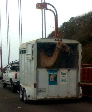 Baby Camel on Golden Gate Bridge